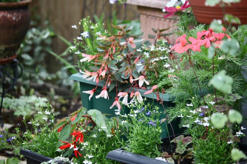 Begonias, cosmos, geraniums
