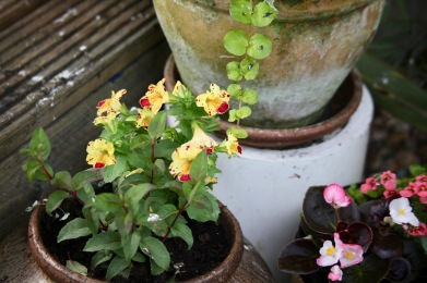 Mimulus and begonias