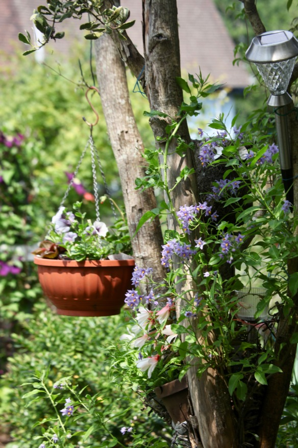 Planting on dead Snake Bark Maple -solanum, begonias, petunias