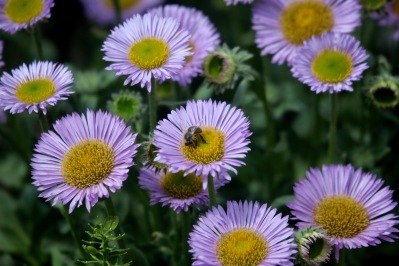 Bee on erigeron