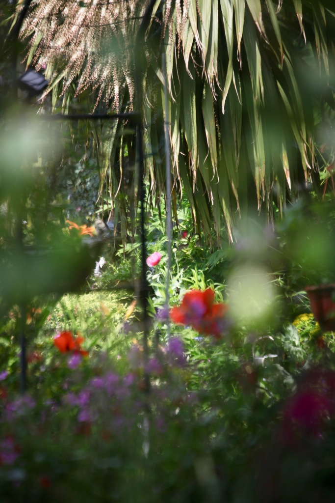 Poppies and Cordyline Australis through Weeping Birch Bed