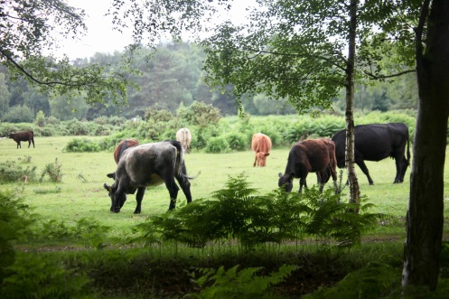 Cattle in woodland