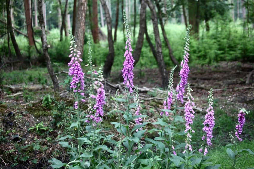 Foxgloves in woodland
