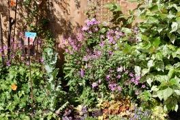 Primula, geranium palmatums, fuschia, heucheras, poppies