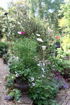 Iron urn Cosoms, petunias