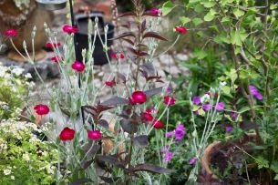 Rose campion, lysimachia firecracker