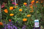 Marigolds, campanulas, salvias