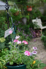 Geraniums and verbena