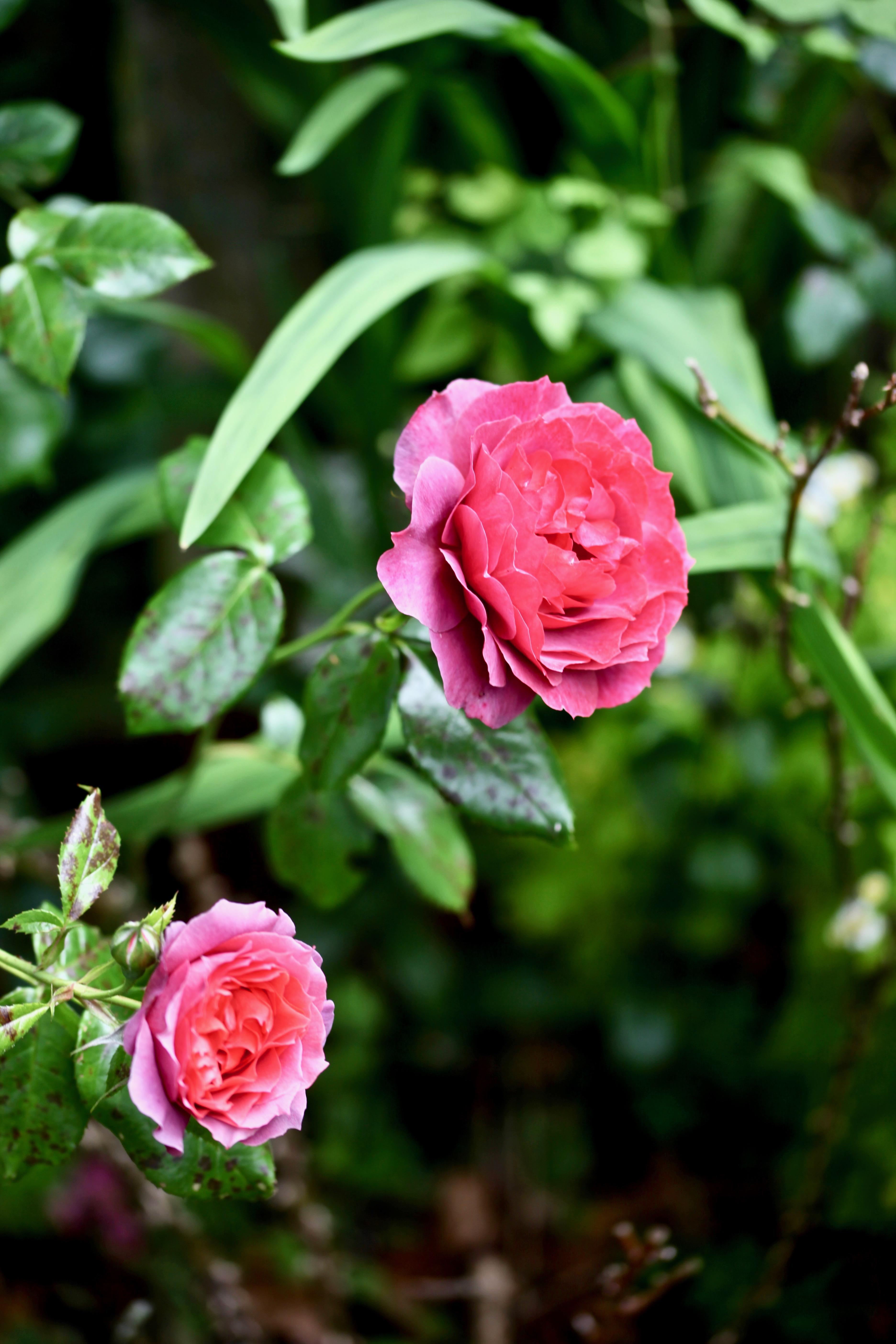 Rose Hot Chocolate