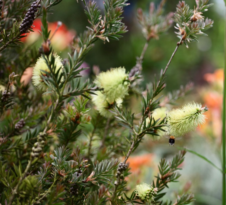 Bee flying to yellow bottle brush