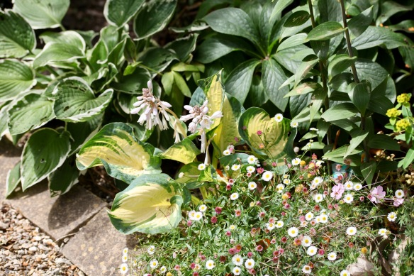 Hostas and erigeron
