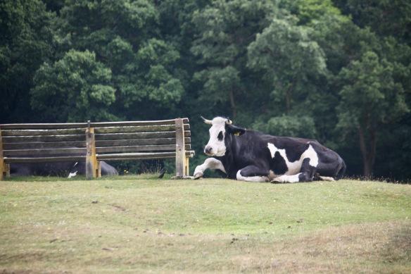 Black Baldy cattle