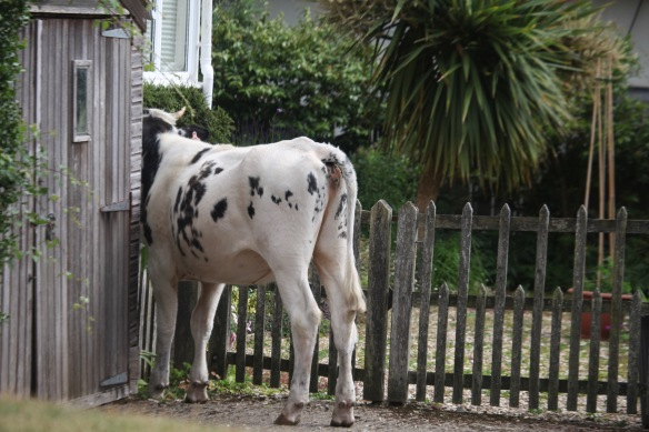 Cow investigating garden