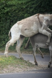 Donkeys copulating