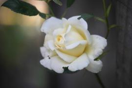 Rose Creme de la Creme