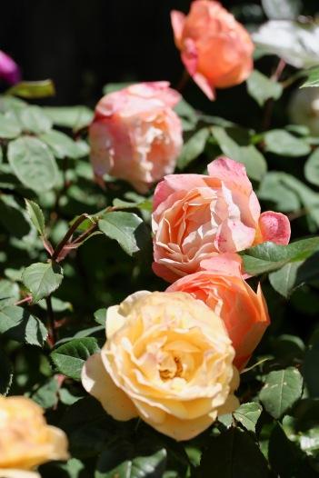 Roses Lady Emma Hamilton and Absolutely Fabulous
