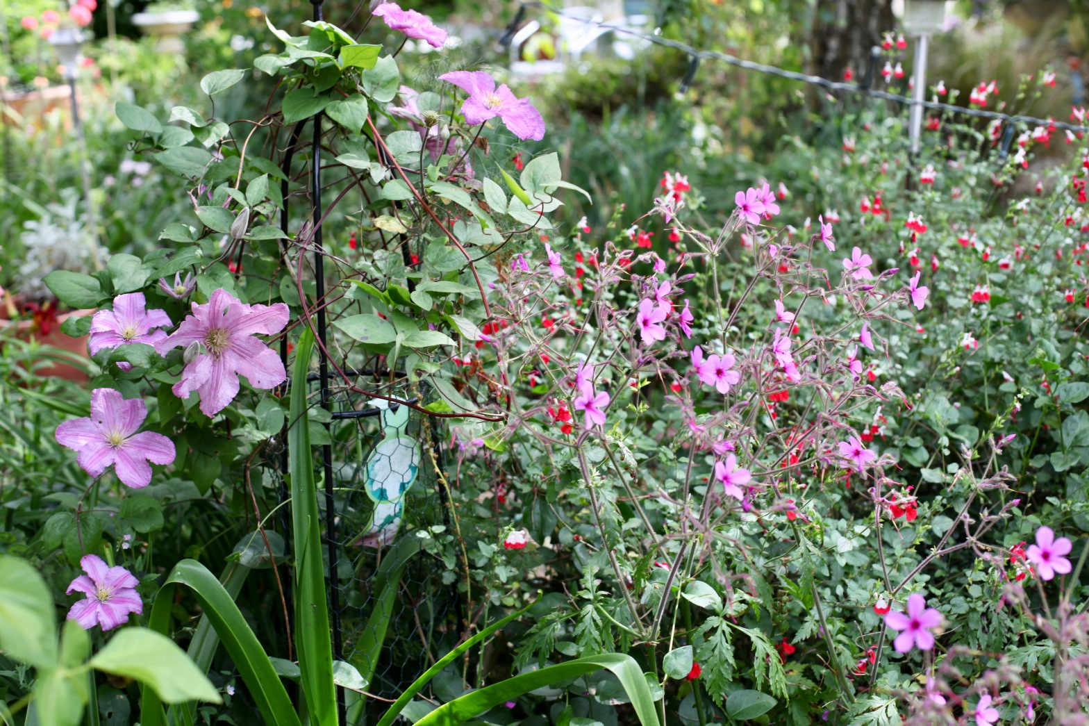 Clematis, geranium palmatums, hot lips in Cryptomeria Bed