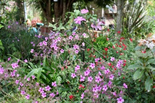 Clematis, geranium palmatums, hot lips