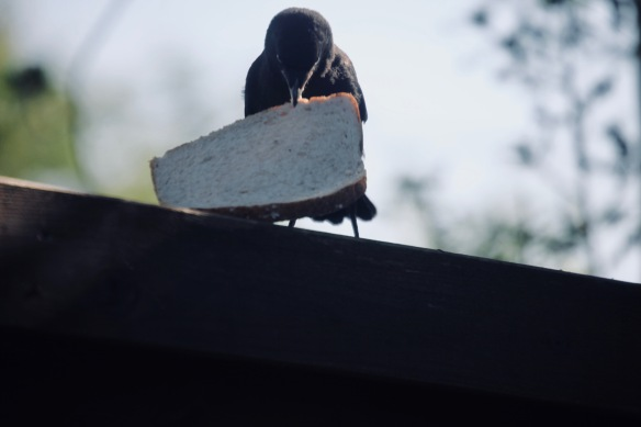 Crow with bread