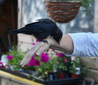 Crow on Jackie's hand