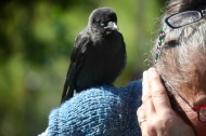Crow on Jackie