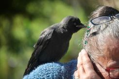 Crow on Jackie