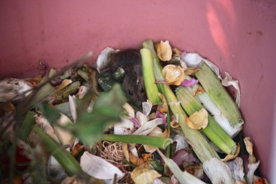 Mouse in compost