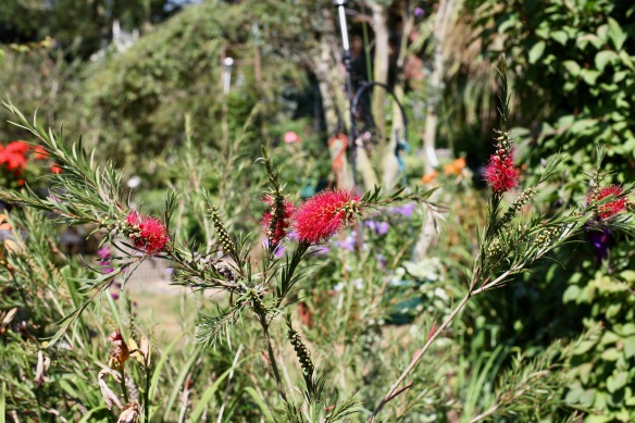 Bottle Brush plant red