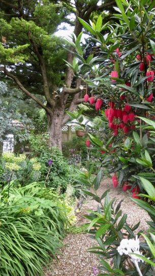 Chilean Lantern tree and Shady Path