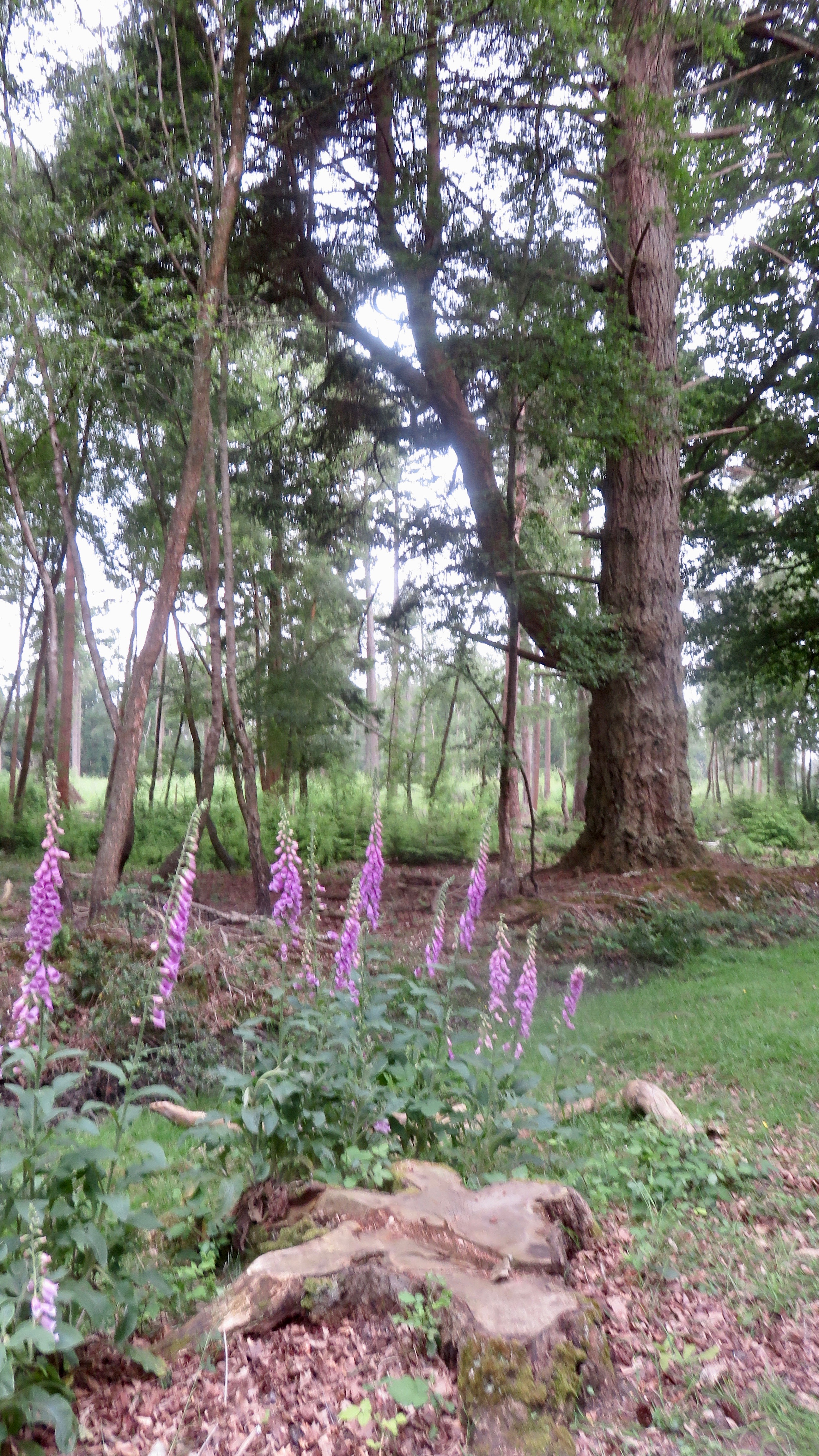 Woodland with foxgloves
