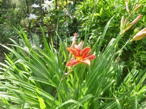 Day lilies and clematis Marie Boisselot