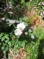 Rose Garden Winchester Cathedral, acquilegias, heucheras, lavender