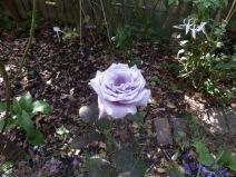 Rose Twice in a Blue Moon