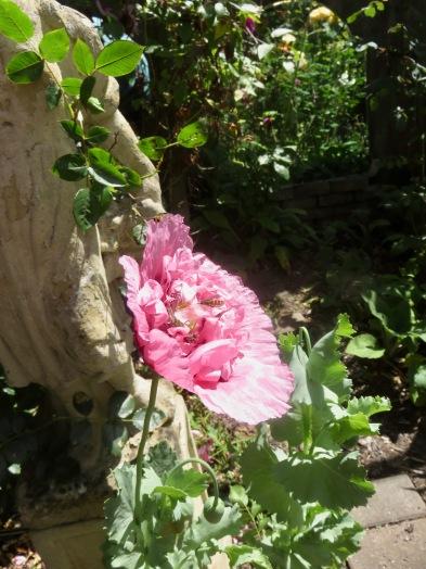Hoverflies in poppy