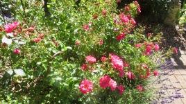 Carpet rose red
