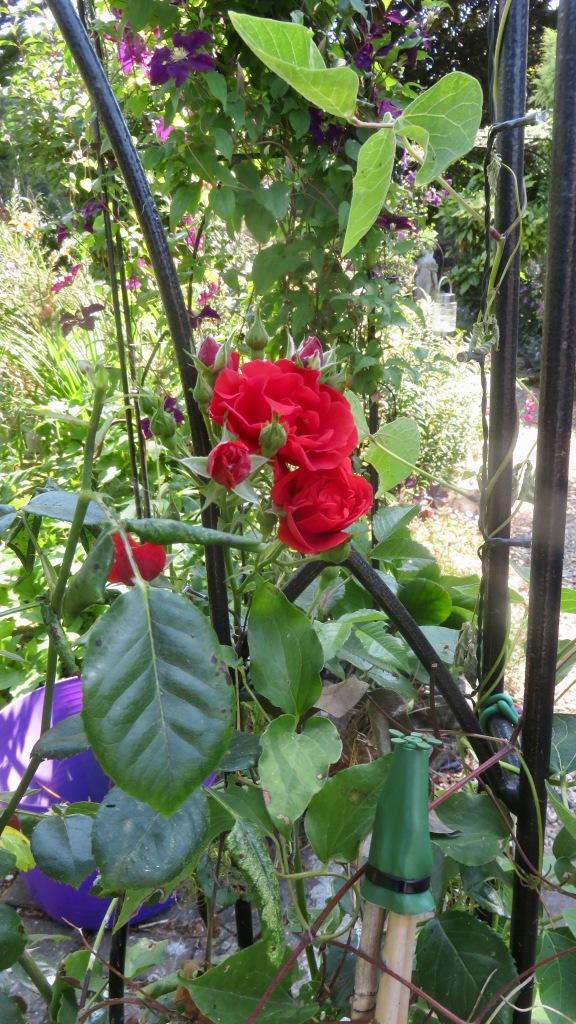 Rose Super Elfin