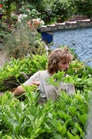 Aaron pruning wisteria