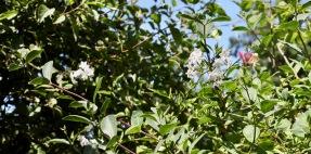 Solanum and honeysuckle