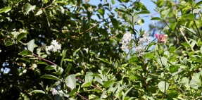 Solanum and honeysuckle