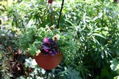 Mimulus and begonias in hanging basket