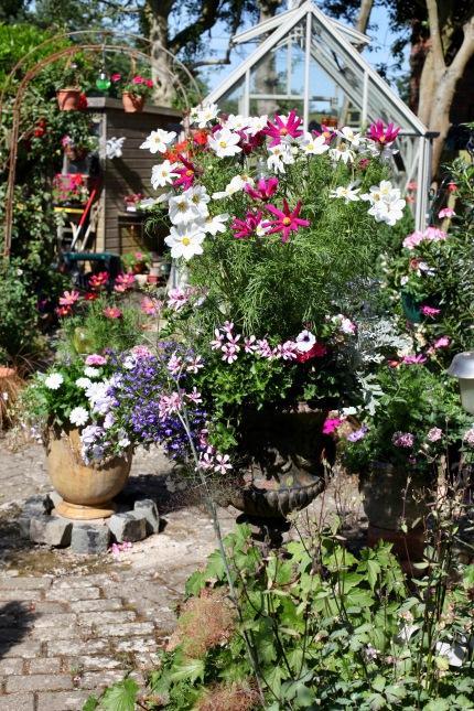 Cosmos, geraniums, urns