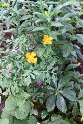 Poppies yellow alongside Shady Path