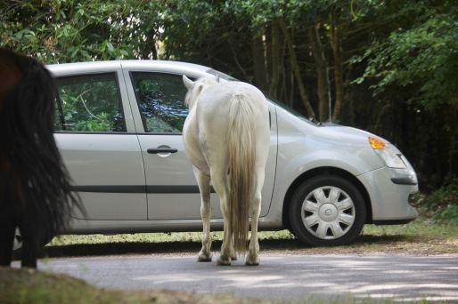 Pony looking into car