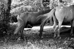 Ponies twitching tails