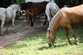 Ponies and foal at gate
