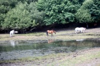 Ponies on drying lake