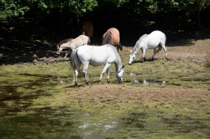 Ponies and foal on drying lake