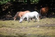 Ponies on drying lake