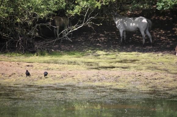 Pony, foal, crows