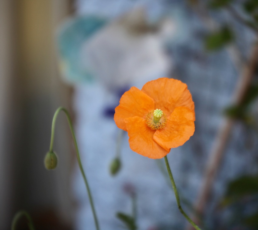Poppy small orange